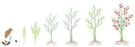 Cycle of growth of a asparagus plant on a white background.