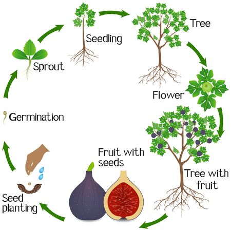 A growth cycle of a fig tree on a white background.
