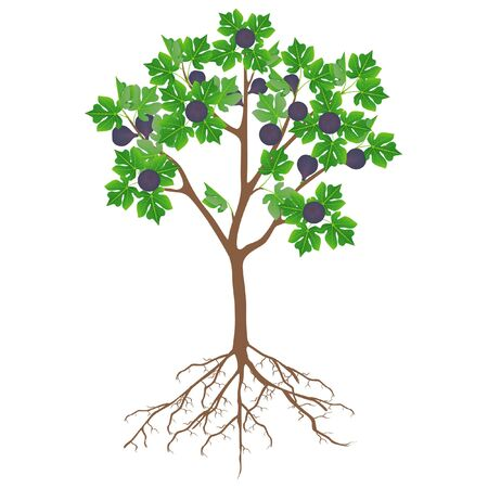 Fig tree with fruit and roots on a white background.