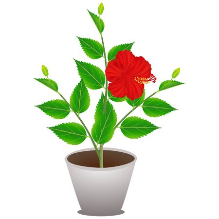 A flowering hibiscus plant in a pot on a white background. Vector Illustration