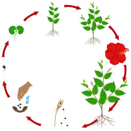 Life cycle of hibiscus plant on a white background.