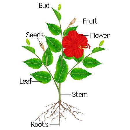 Parts of hibiscus plant on a white background. Ilustración de vector