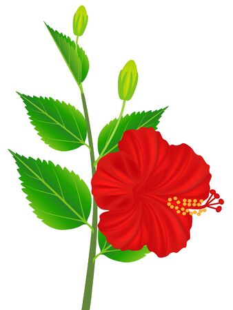 Blooming red hibiscus flower isolated on white background.