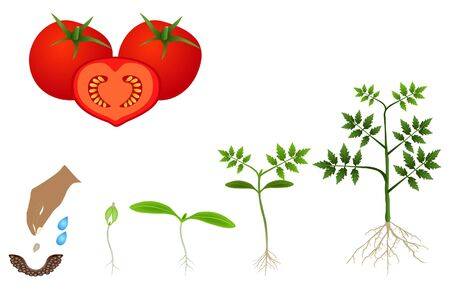Sequence of a tomato plant growing isolated on white. Векторная Иллюстрация