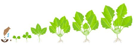 Cycle of growth of a kohlrabi plant on a white Stock Illustratie