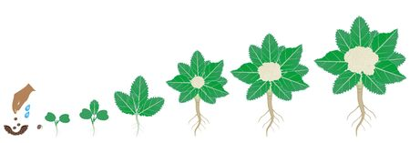 Cycle of growth of cauliflower plant on a white Vektoros illusztráció