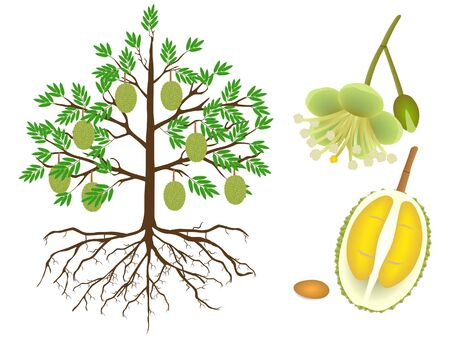 Parts of a durian tree on a white background. Иллюстрация