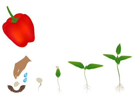 Sequence of red pepper plant growing isolated on white.