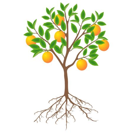A tree of an grapefruit with fruits and roots on a white background.