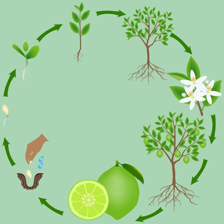 Life cycle of a lime plant on a green background. Stock Illustratie