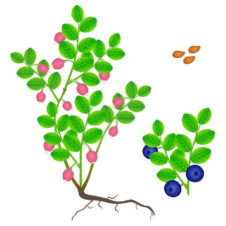 Parts of a blueberry plant on a white background.