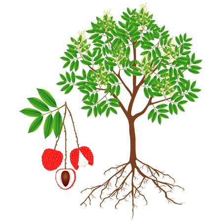 An illustration showing parts of a lychee tree.