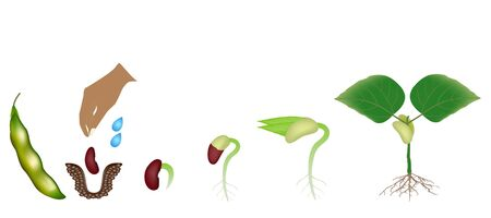 Sequence of a bean plant growing isolated on white. Stock Illustratie