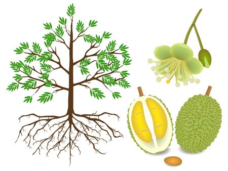 An illustration showing parts of a durian plant on a white background. Иллюстрация