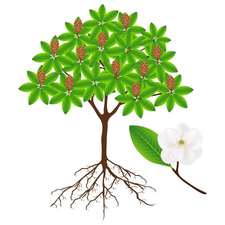 Magnolia grandiflora tree with fruit and twig with flower. Illustration