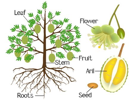Parts of a durian plant on a white background.