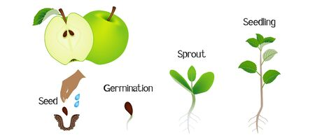 Sequence of an apple plant growing isolated on white.