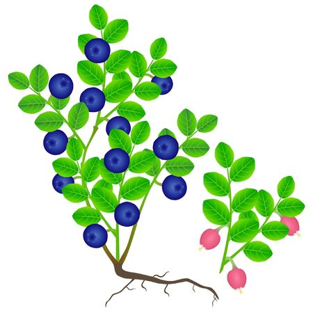 Blueberry bush with berries and flowering branch on a white background.