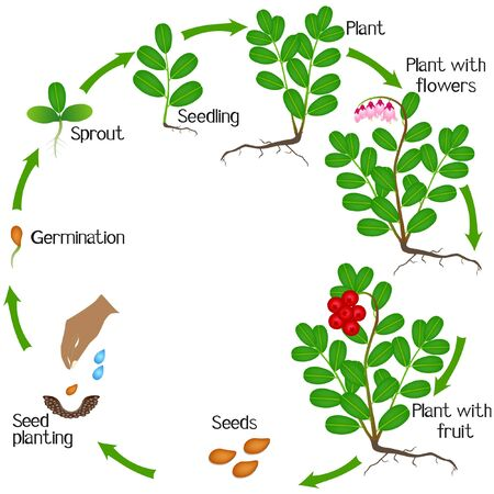 A growth cycle of a cowberry plant on a white background.