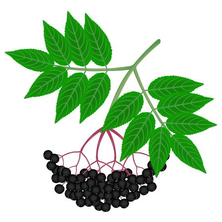 Elderberry black with leaves on a white background.