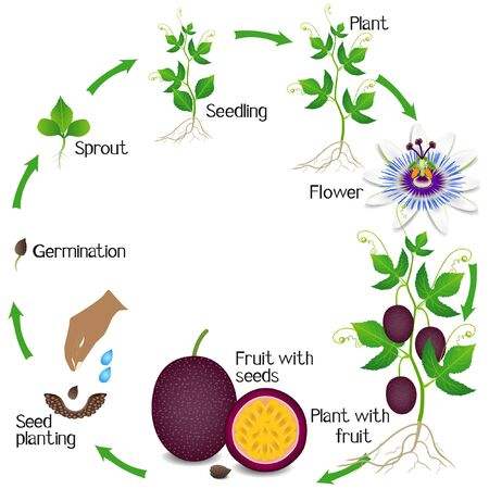 A growth cycle of a passion fruit plant on a white background.