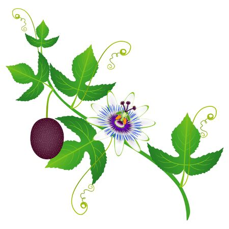 A branch of passion fruit with flower and fruit. Illustration