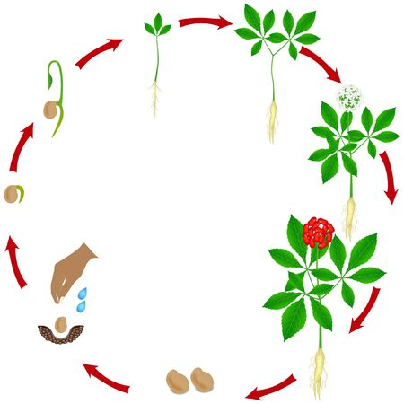 A growth cycle of a ginseng (Panax ginseng) plant on a white background.