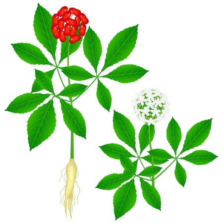 Part of a ginseng (Panax ginseng) plant on a white background.