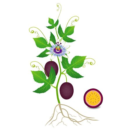An illustration showing parts of a passion fruit plant.