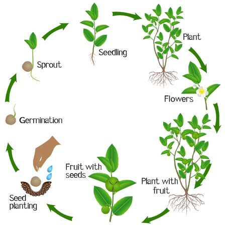 Life cycle of green tea (camellia sinensis) plant on a white background.