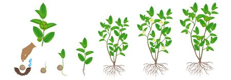 Cycle of growth of green tea (camellia sinensis) plant on a white background. Иллюстрация