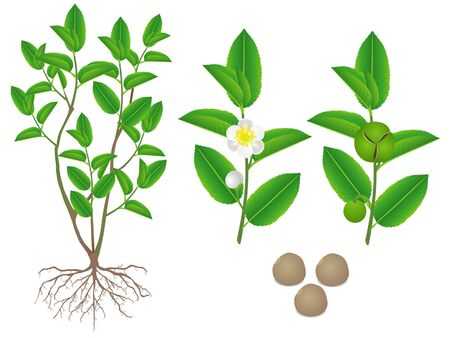 Parts of green tea (camellia sinensis) plant on a white background.