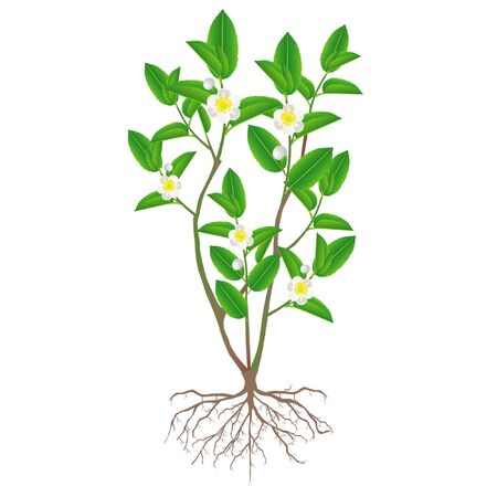 A bush of green tea with roots and flowers, flowering (Camellia sinensis) on a white background. Vector Illustratie