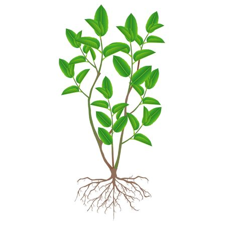 A bush of green tea with roots on a white background.