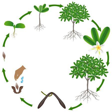 Life cycle of a frangipani (plumeria) tree on a white background.