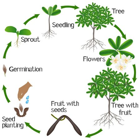 Life cycle of a frangipani (plumeria) plant on a white background.