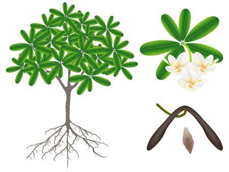 Parts of a frangipani (plumeria) plant on a white background. Иллюстрация