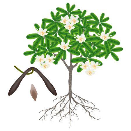 Parts of a frangipani (plumeria) tree on a white background.