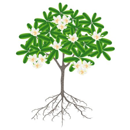 Tree with roots and flowers of frangipani (plumeria) on a white background.
