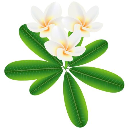 Tropical flowers frangipani (Plumeria) on a branch with leaves. Иллюстрация
