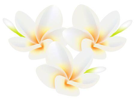 Tropical flowers frangipani (Plumeria) isolated on a white. Ilustração Vetorial