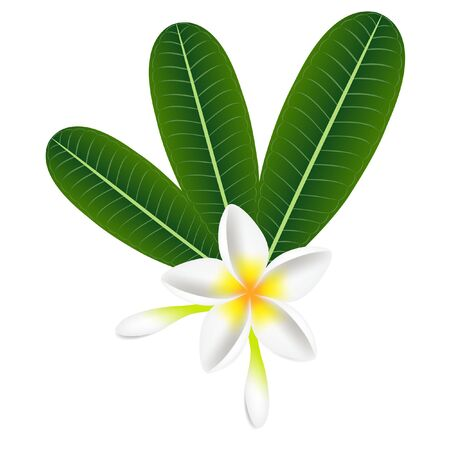 Tropical flowers frangipani (Plumeria) with leaves isolated on a white.