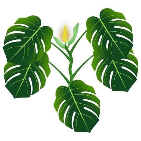 Flower and green leaves of monstera or split-leaf philodendron (Monstera deliciosa).