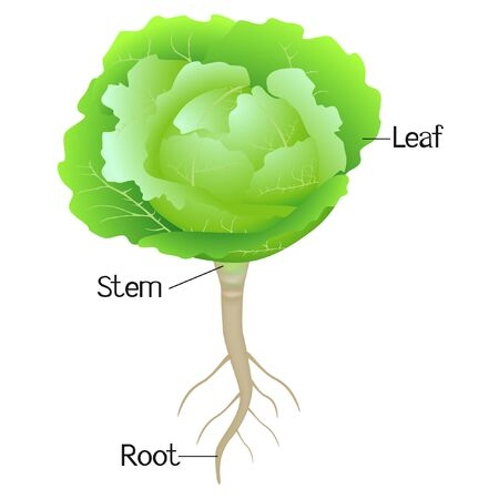 An illustration showing parts of a cabbage plant.