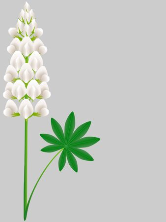 White lupine flower with green leaf on a gray background.