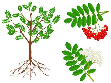 The illustration shows parts of a plant of red rowan.
