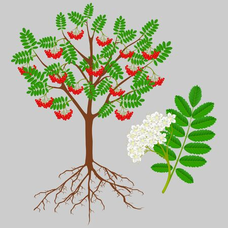 Red rowan tree with berries and flower, design element. Ilustração