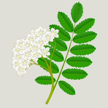 Flowers of red rowan with green leaves, design element.