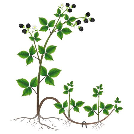 Reproduction of plant blackberry by layers on a white background.