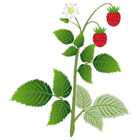Raspberry plant with leaves, berries and flower, isolated on white background. Vektorgrafik